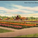 BNellis_Tulip_Farm,_Holland,_Michigan_(79472)